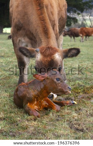 Mother Jersey cow with newborn calf, West Coast, New Zealand - stock photo