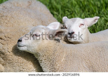 Mother lamb and two baby lamb sleep down in the meadow - stock photo