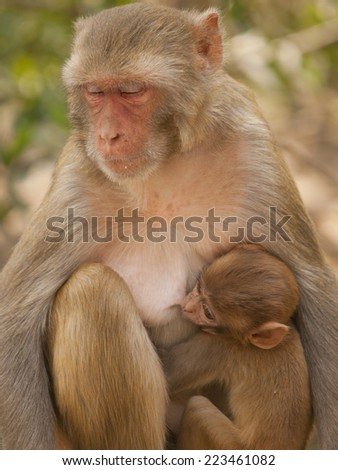 Mother macaque feeding her baby At the Monkey Temple (Galwar Bagh)- Jaipur, India - stock photo