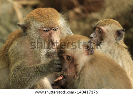 Mother macaque grooming her offspring