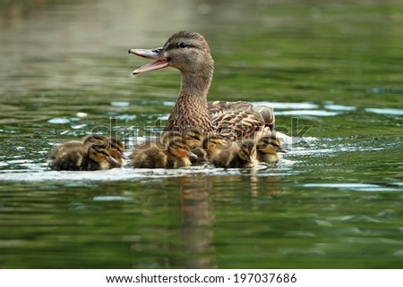 mother mallard duck ( anas platyrhynchos ) on water with ducklings, quacking - stock photo