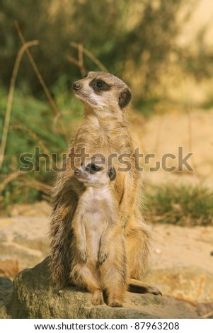 Mother meerkat with baby on guard - stock photo