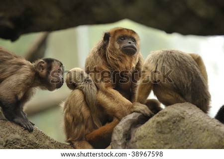 mother monkey and her children sitting in a tree - stock photo