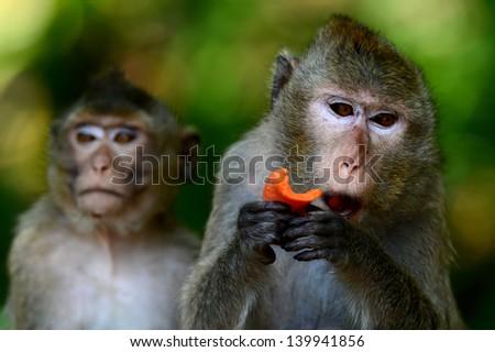 Mother monkey eating papaya. - stock photo