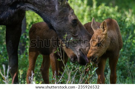 Mother moose shares a plant with her twin calves