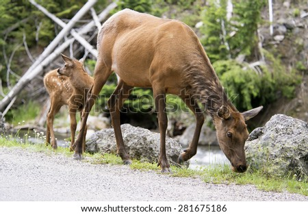 Mother Mule Deer with baby. - stock photo