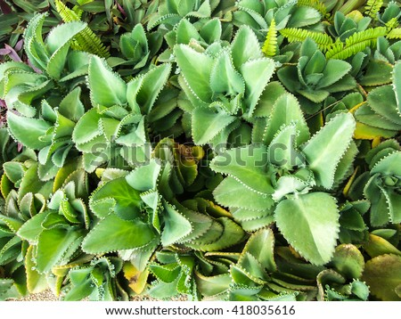 Mother-of-Thousands Plant,Alligator Plant Babies Sale AKA Bryophyllum Tubiflora or Chandelier Plant on Etsy Vegetation, Green, Nature, Plant - stock photo