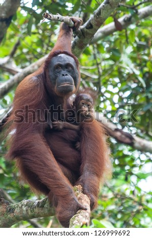 Mother orang utan with child in a tree on Malaysian Borneo. - stock photo