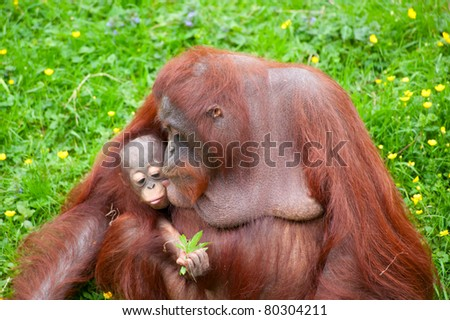 Mother orangutan kisses her cute baby in the grass