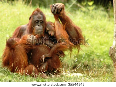 Mother orangutan with two youngs, sitting in the grass. - stock photo