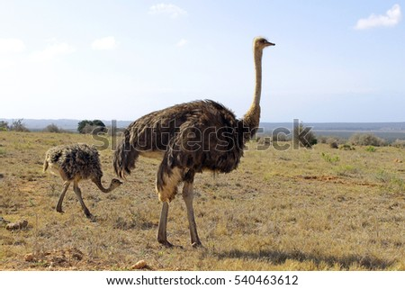 Mother ostrich followed by a single young one. She keeps watch for predators while the baby ostrich continually pecks at the grass