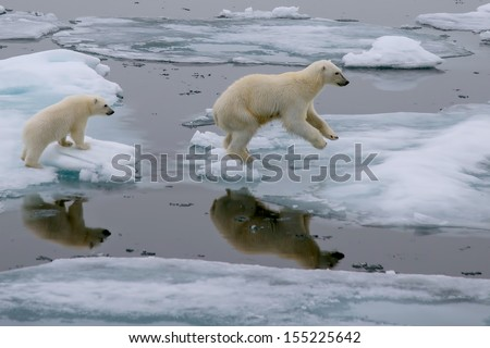 mother polar bear and cub jumping across ice floe in arctic ocean north of svalbard norway - stock photo