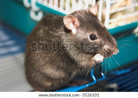 mother rat - stock photo
