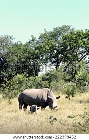 Mother rhino and baby rhino in their Natural Habitat, in the Kruger National Park of South Africa. - stock photo