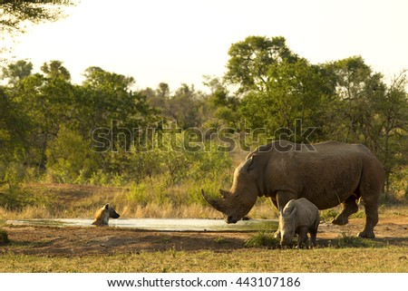 Mother Rhino and calf encounter a hyena cooling off in a water hole in Kruger National Park - stock photo