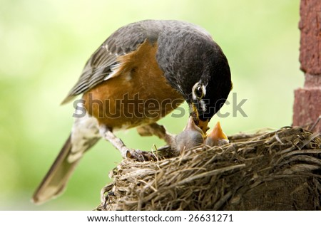 """Mother Robin feeding her babies worms, copy space """"selective focus"""" - stock photo"""