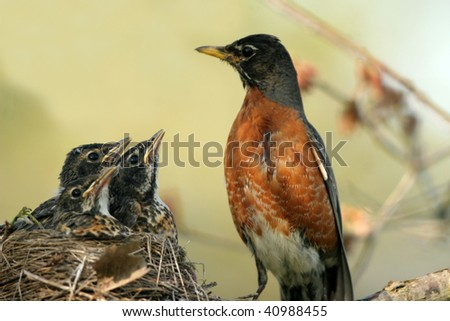 Mother Robin with babies in nest - stock photo