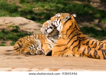 Mother's love -  tigress and cute cub - stock photo