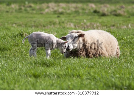 Mother sheep and her cute lamb