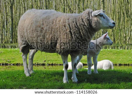 Mother sheep and her lambs in a meadow in The Netherlands. - stock photo