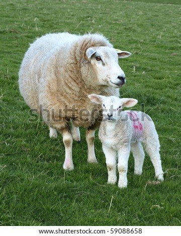 Mother Sheep and Lamb - stock photo
