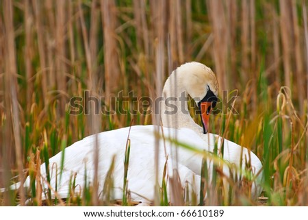Mother Swan Falls Asleep Dreaming On Nest Of Babies To Come. - stock photo