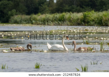 Mother swan swimming in river with chicks - stock photo