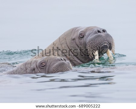 Mother walrus with whiskers dripping water in Norway