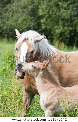 Mother with her foal - haflinger