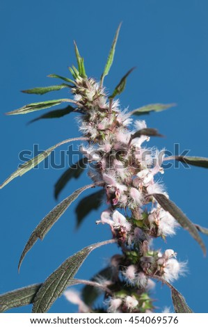 Motherwort plant over blue background,close up shot - stock photo