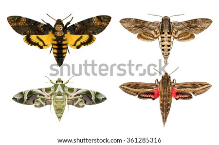 Moths species. Daphnis nerii -oleander hawk-moth or army green moth,Convolvulus Hawk moth -Agrius convolvuli,Death's head Hawk moth -Acherontia atropos,Silver-striped hawk-moth-Hippotion celerio - stock photo