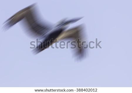Motion blur of pelican in flight - stock photo