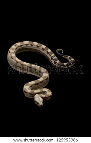 motley Columbian red-tailed boa (Boa constrictor constrictor) isolated on black background.