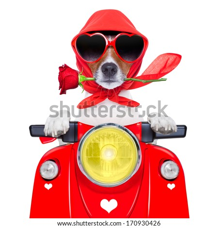 motorcycle dog driving a motorbike with helmet at  high speed - stock photo