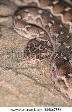 mottled poisonous snake lying on the sand - stock photo