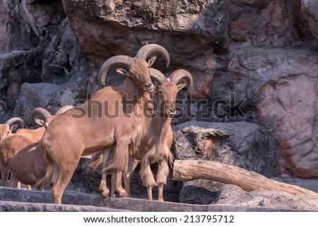 Mouflon - Ovis aries orientalis  - stock photo