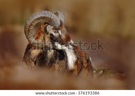 Mouflon, Ovis orientalis, forest horned animal in the nature habitat, portrait of mammal with big horn, Praha, Czech Republic - stock photo