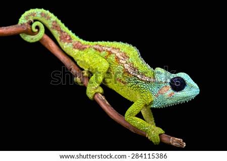 Mount Hanang Chameleon ( Trioceros hanangensis) - stock photo