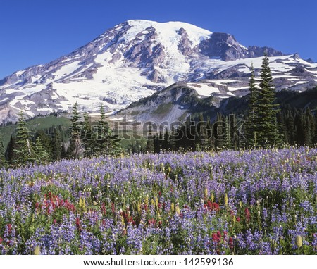 Mount Rainier and wildflowers as seen from Mazama Ridge in summer; Mount Rainier National Park, Washington State - stock photo