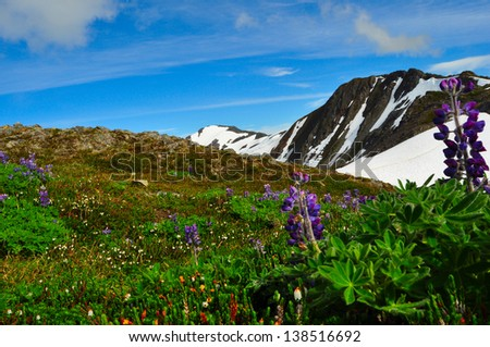 Mount Roberts Juneau Alaska and Lupine Wild Flowers in the Foreground - stock photo