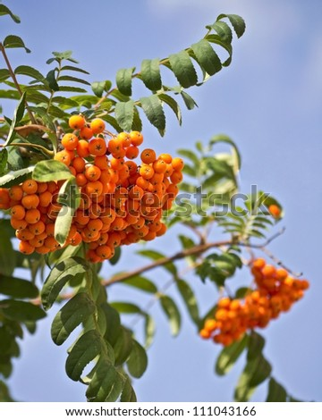 mountain ash on a background of blue sky - stock photo