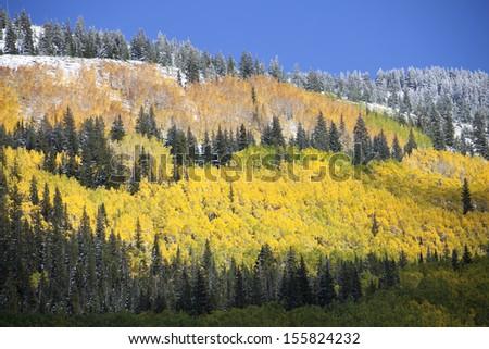 Mountain Aspen Grove in Autumn after Snow  - stock photo