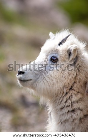 Mountain baby goat in Jasper national park, Canada