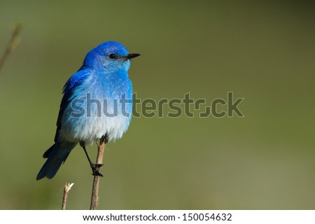 Mountain Bluebird perched against a natural green background in Yellowstone National Park, Wyoming / Montana / Idaho songbird blue bird western eastern mountain - stock photo