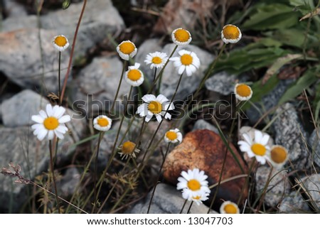 Mountain camomile in stones with drops of water - stock photo