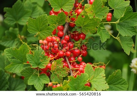 mountain fruit currant fruit