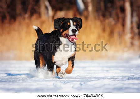 mountain dog on winter walk - stock photo