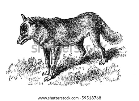 "Mountain dwelling Coyote. Illustration originally published in Hesse-Wartegg's ""Nord Amerika"", swedish edition published in 1880. - stock photo"