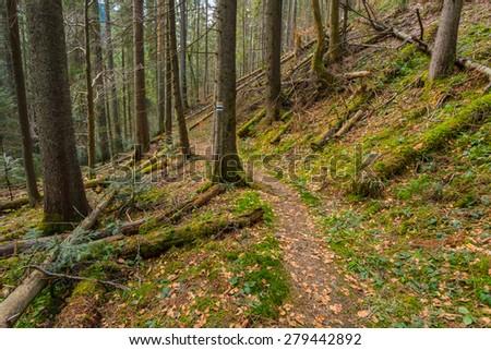 mountain fir tree forest scene - stock photo