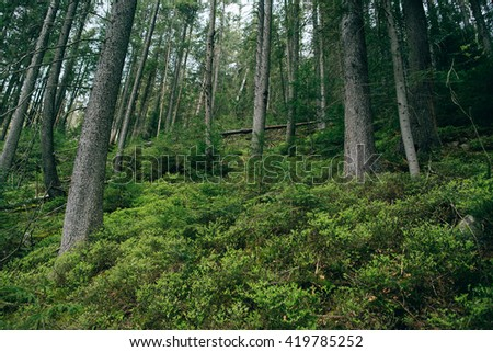 Mountain Forest background. Misty green pine forest landscape. Travel - stock photo